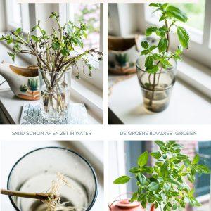 Basilicum stekken en verzorgen