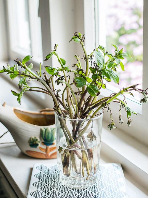 Thaise basilicum stekken